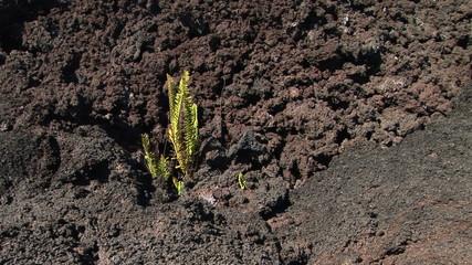 Plant growing from a barren volcanic field, Big Island, Hawaii