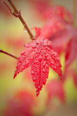 close up of Japanese Maple leaf after rain