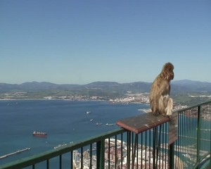 Barbary Ape sitting high up on railing in Gibraltar