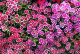 Fototapety Blooming pink Dianthus