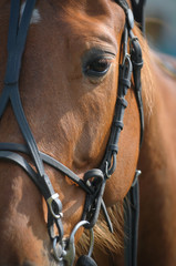 Portrait of a thoroughbred horse just before a race