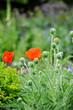 Rote Mohnblumen auf der Wiese