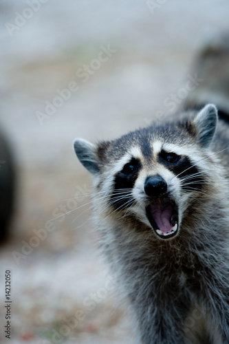 Photo: Raccoon behavior. © Fotolia XIII #