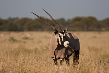 Watchful Gemsbok (Oryx)