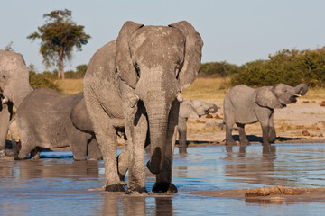Matriach Elephant with her herd drinking at a waterhole