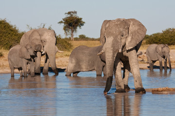 Elephants drinking at waterhole