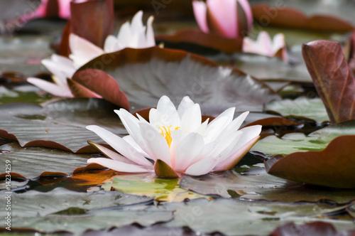 Fotobehang Lotusbloem Fantastische Seerosen