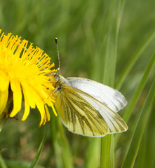Small white butterfly (Pieris rapae) on dandelion
