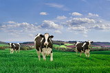 Friesian Dairy Cows in a rural setting. poster