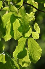 Sonnige Blätter