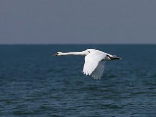 white swan in flight over sea