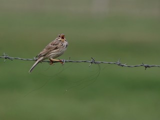 corn bunting singing over a wire