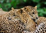 Sri Lanka Leopard poster
