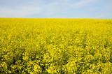 Vibrant Oilseed Rape Field poster