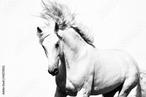 white arabian horse stallion isolated on the white - 14270832