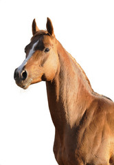 brown arabian horse isolated on white