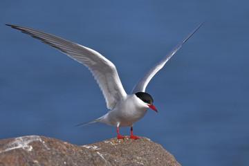 arctic tern portrait