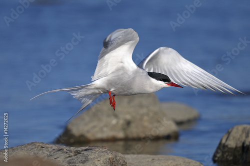 common tern portrait