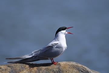 common tern portrait