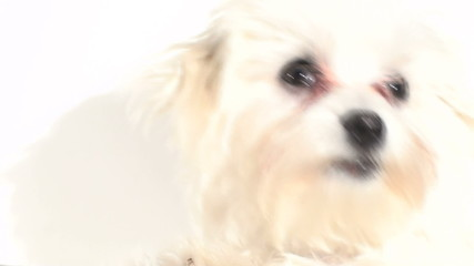 Maltese puppy isolated against white - HD