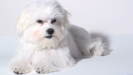 Sleepy Maltese puppy isolated against white - HD