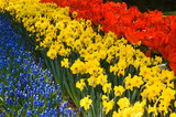 Spring flowers in red, yellow and blue