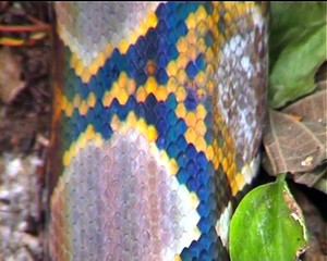 Reticulated python body