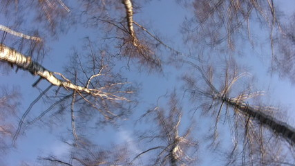 Tops of birches rotating in blue sky