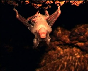Young roundleaf bat