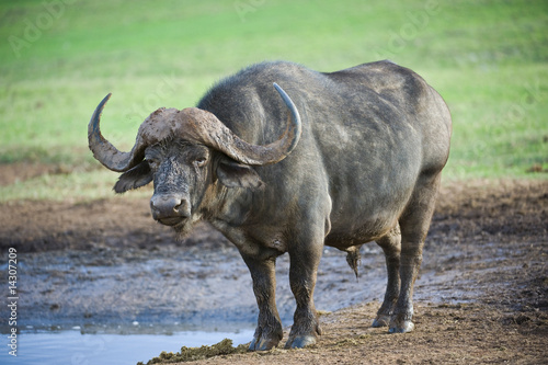 Staande foto Buffel A mature Buffalo stares at me from the waterhole