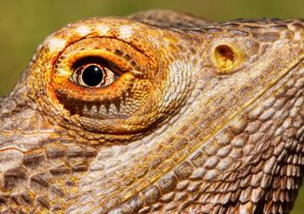 Bearded Dragon Closeup