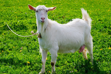 Goat posing on a green sunny field.