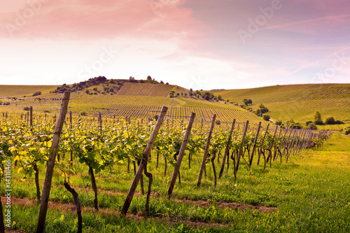 canvas print picture german vineyard near the rhein river