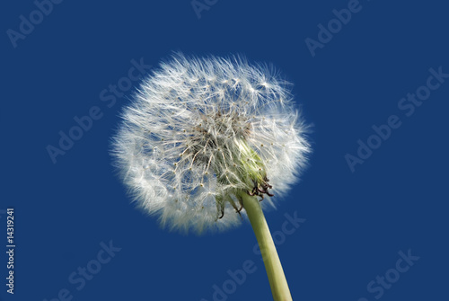White dandelion against blue sky