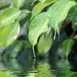 feuilles de figuier pleureur