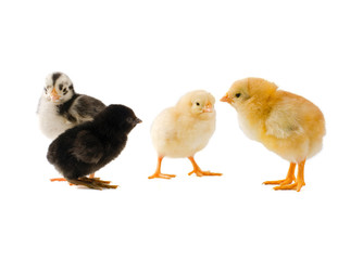 group of diffrenet chicks