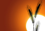 Silhouette of wheat on a sundown background poster