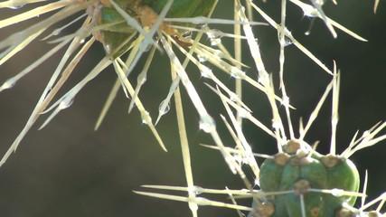 Rain drops on cactus - HD