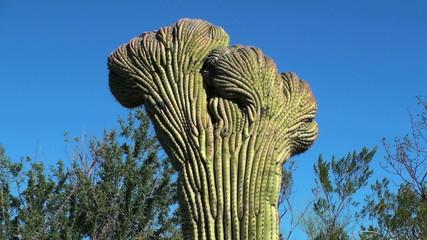 Cristate saguaro cactus in desert landscape - HD