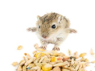 little baby gerbil