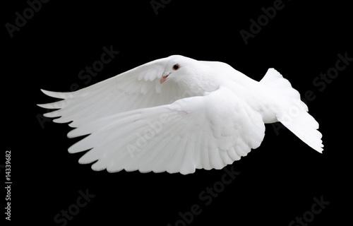 Leinwandbild Motiv White Dove in Flight 12