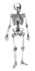 Squelette Humain - Human Skeleton
