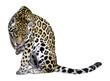 Détourage d'un jaguar se léchant une patte