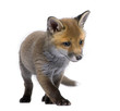 Red fox cub (6 Weeks old)- Vulpes vulpes