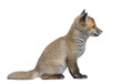 side view of a Red fox cub (6 Weeks old)- Vulpes vulpes