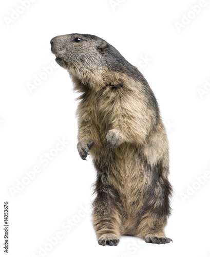 Alpine Marmot - Marmota marmota (4 years old)
