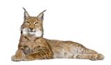 Eurasian Lynx - Lynx lynx (5 years old) poster