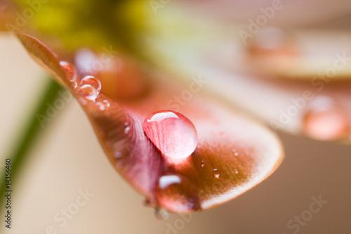 Leinwandbild Motiv Tulip