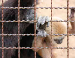 weißhand-gibbon, hylobates lar im tierpark gettorf