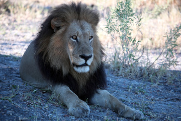 Black maned Okavango lIon